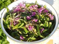 Завяливание листьев иван-чая