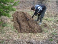 Посев корней иван-чая