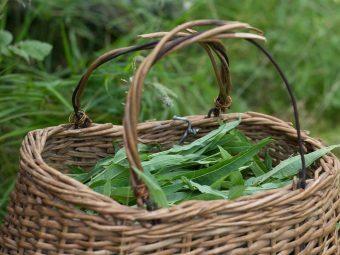 Цветки иван-чая нужно собирать отдельно от листьев