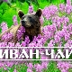 Иван-чай – исконно русский полезный напиток