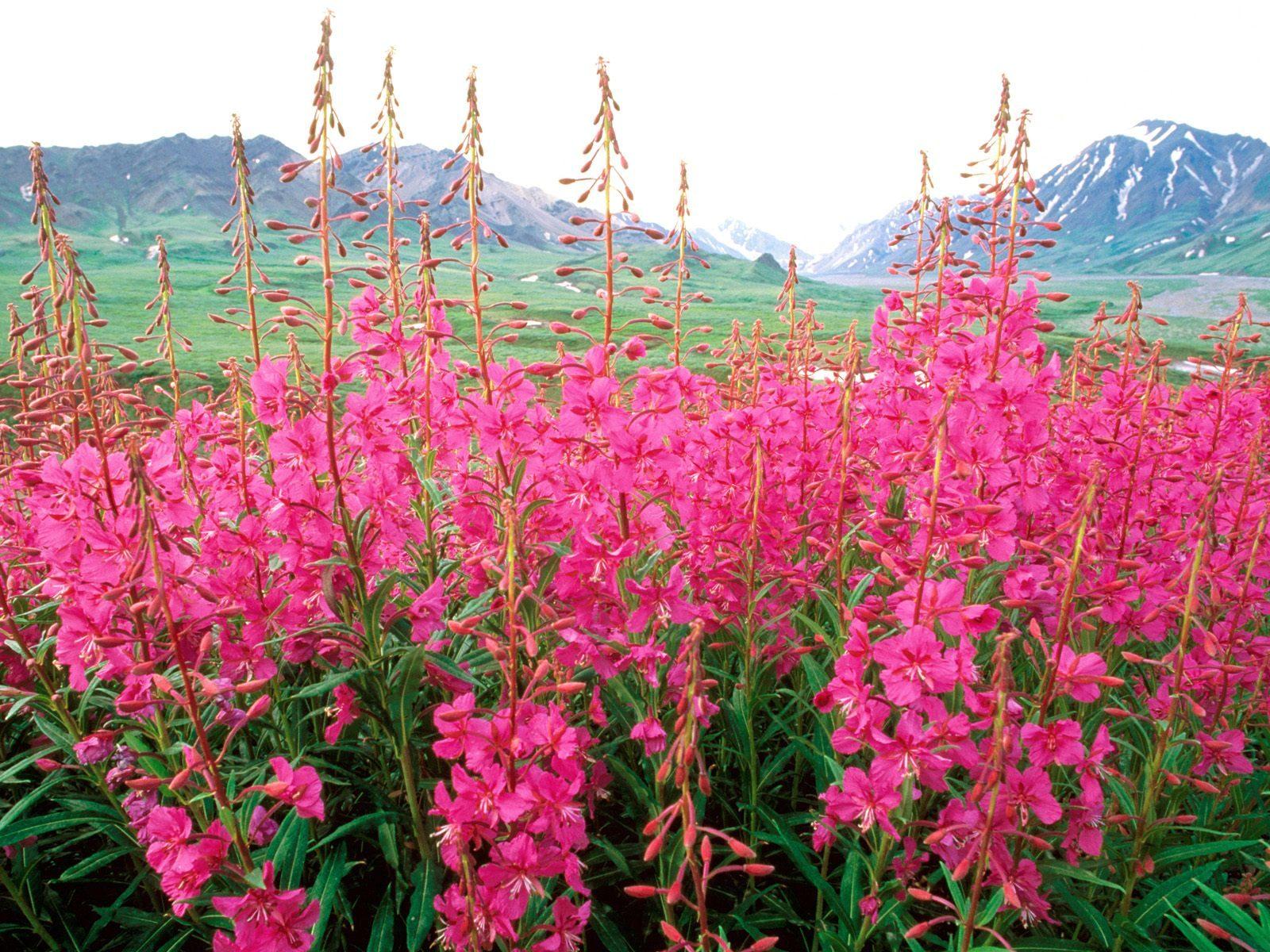иван чай фото растения