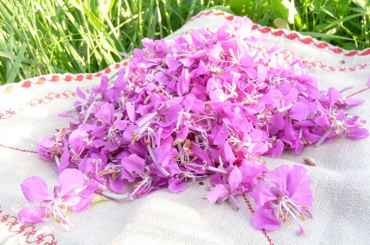 Иван чай цветы как сушить