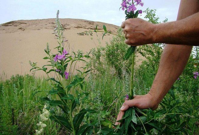 Иван-чай как собирать цветы